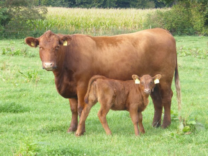 Angus cow Teresa with her Kodiak calf (10 days old)
