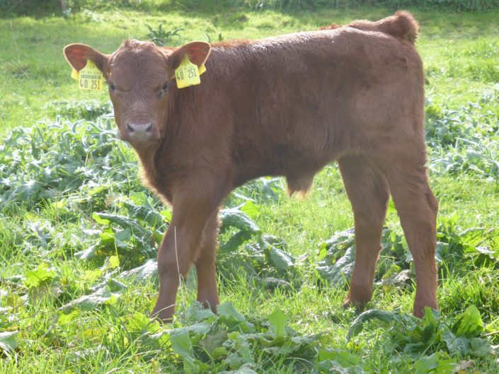 Angus Embryotransfer (ET) von New Direction ( 5 Tage alt)